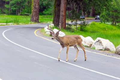 preventing animal collisions